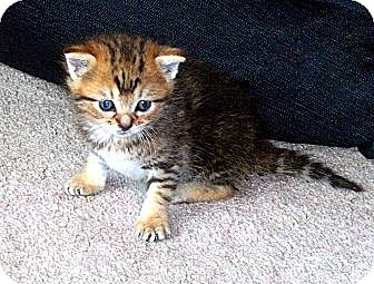 Domestic Shorthair Kitten for adoption in Lombard, Illinois - FOSTER HOMES NEEDED