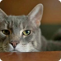 Domestic Shorthair Cat for adoption in Westwood, New Jersey - Charlie AKA Chuck