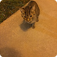 Domestic Shorthair Cat for adoption in Baltimore, Maryland - Peanut (COURTESY POST)