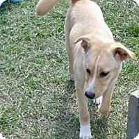 Adopt A Pet :: Sandy - Hammond, LA