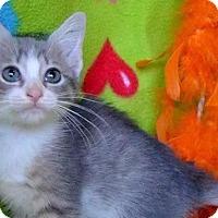 Adopt A Pet :: Kitten Eason - Cumberland, ME