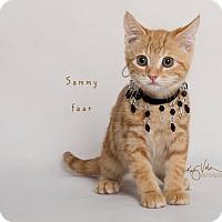 Domestic Shorthair Kitten for adoption in Riverside, California - Sammy