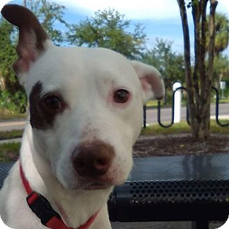 Pit Bull Terrier Mix Dog for adoption in Cape Coral, Florida - Petey