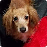 Adopt A Pet :: Bella - Woonsocket, RI