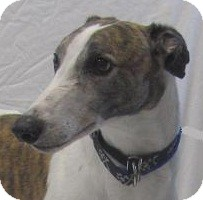 Greyhound Dog for adoption in Swanzey, New Hampshire - Kurt