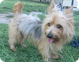 Silky Terrier/Yorkie, Yorkshire Terrier Mix Dog for adoption in Orange Park, Florida - Banks