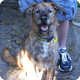 Beverly Hills Ca Irish Wolfhound Airedale Terrier Mix