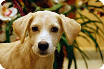 Golden Retriever/Labrador Retriever Mix Puppy for adoption in Brooklyn, New York - Caring Carolyn