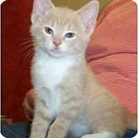 Adopt A Pet :: Beau - Reston, VA