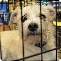 Adopt A Pet :: Scruffy - Duluth, GA