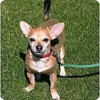Adopt A Pet :: NACHO - Gilbert, AZ