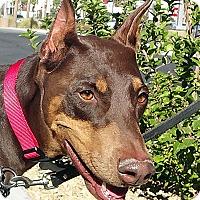 Adopt A Pet :: Bella (the Red) - Las Vegas, NV
