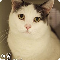 Adopt A Pet :: Wolf - Merrifield, VA