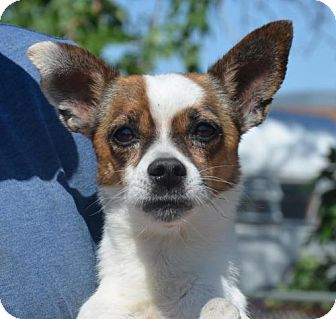Chihuahua Mix Dog for adoption in Aurora, Colorado - Bravo