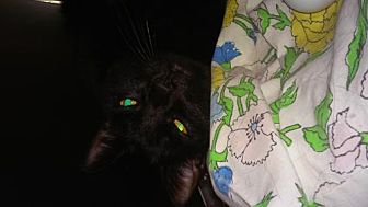 Domestic Shorthair Cat for adoption in Boynton Beach, Florida - Astrid