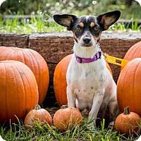 Adopt A Pet :: Waffles - Austin, TX