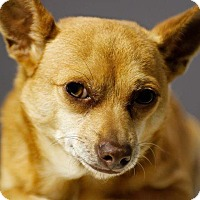 Chihuahua/Spitz (Unknown Type, Small) Mix Dog for adoption in Los Angeles, California - Weezer