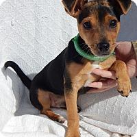 Adopt A Pet :: Chong (6 lb) - Sussex, NJ