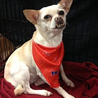 Chihuahua Mix Dog for adoption in Bedford, Texas - Smiley