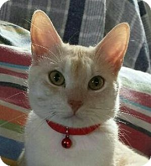Domestic Shorthair Cat for adoption in Fenton, Missouri - Mr. Red