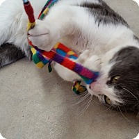 Domestic Shorthair Cat for adoption in Greeley, Colorado - Mort