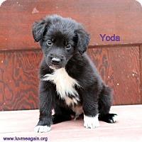 Adopt A Pet :: Yoda - Bloomington, MN
