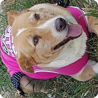 Hound (Unknown Type)/Labrador Retriever Mix Dog for adoption in Von Ormy, Texas - Henrietta