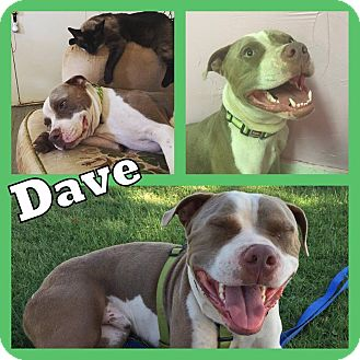 Pit Bull Terrier Mix Dog for adoption in Snyder, Texas - Dave