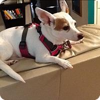 Adopt A Pet :: Lady Gaga (COURTEYS POST) - Baltimore, MD