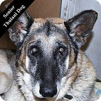 German Shepherd Dog Mix Dog for adoption in Cupertino, California - Zach T.