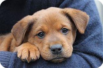 Rottweiler mix puppy for adoption in pleasanton california panda
