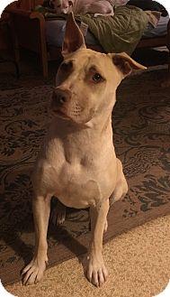 English Bulldog/Labrador Retriever Mix Dog for adoption in PARSIPPANY, New Jersey - Lady