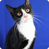 Adopt A Pet :: Miss Kitty - Winston-Salem, NC