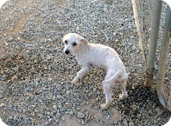 Toy Poodle Dog for adoption in Spartanburg, South Carolina - Rocket