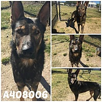 German Shepherd Dog Dog for adoption in SAN ANTONIO, Texas - NEMO