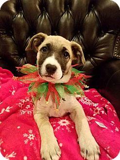 Shepherd (Unknown Type) Mix Puppy for adoption in Denver, Colorado - Ivy