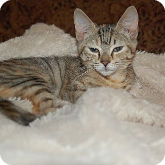 Domestic Shorthair Kitten for adoption in Great Mills, Maryland - Lyric