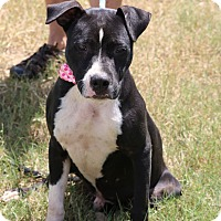 Adopt A Pet :: Royce - Pluckemin, NJ