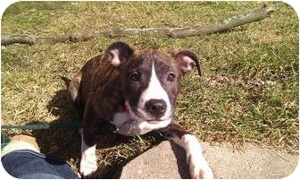 Terrier (Unknown Type, Medium)/Greyhound Mix Puppy for adoption in Silver Lake, Wisconsin - Madisyn