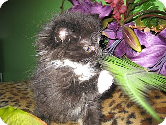 Domestic Mediumhair Kitten for adoption in Clearfield, Utah - Suave