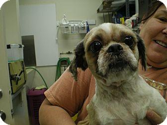 Shih Tzu Dog for adoption in Apex, North Carolina - Louie