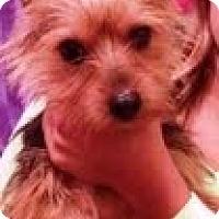 Adopt A Pet :: Scooby - Shawnee Mission, KS