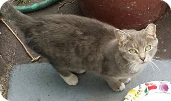 Domestic Mediumhair Cat for adoption in Brooklyn, New York - Lovely Luna