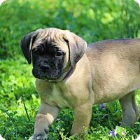 Adopt A Pet :: Poppy - Virginia Beach, VA