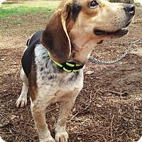 Adopt A Pet :: Stewie - Richmond, VA