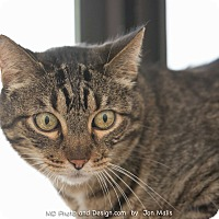 Domestic Shorthair Cat for adoption in Fountain Hills, Arizona - Spike