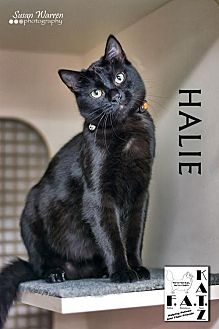 Domestic Shorthair Cat for adoption in Albuquerque, New Mexico - Halie