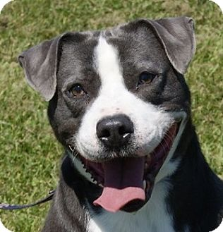 Dalmatian/Pit Bull Terrier Mix Dog for adoption in Monroe, Michigan - Spike - Adoption Pending