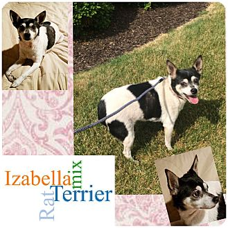 Rat Terrier Mix Dog for adoption in Fort Wayne, Indiana - Izabella