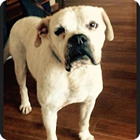 American Bulldog/Boxer Mix Dog for adoption in Costa Mesa, California - Atticus